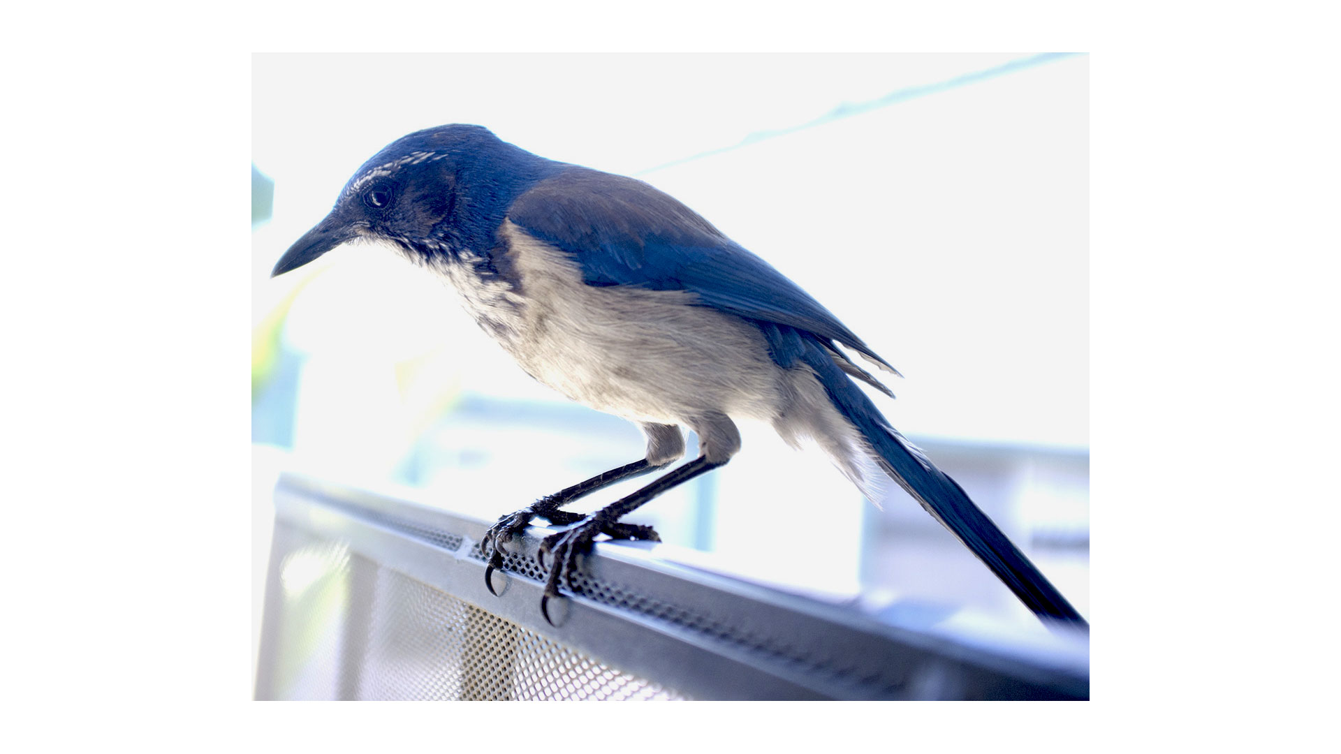 Blues, a scrubjay that visits me every monring